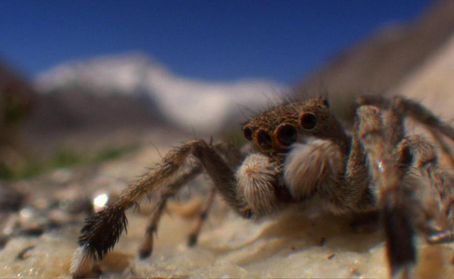 4. Гималайский прыгающий паук. Чемпион-выживальщик всея планеты, гималайский прыгающий паук будто на