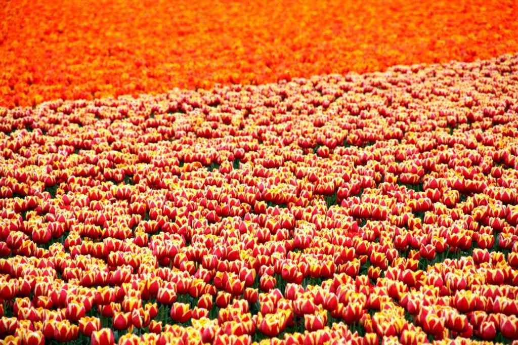 Нидерланды. Цветочные плантации. (Martin Fisch)