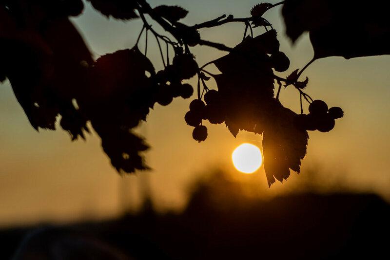 Закат сквозь кусты боярышника