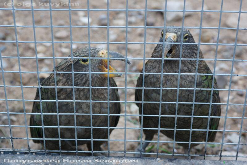 Кеа в парке птиц Воробьи