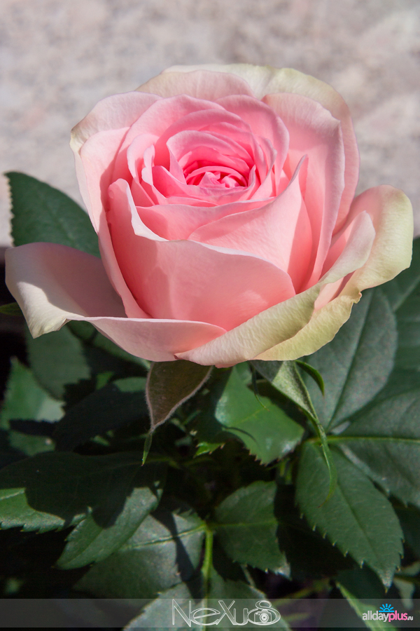 С Днём Рождения, Кагги ! | Я люблю все цветы, выпуск 138 | Розы для Наташи.