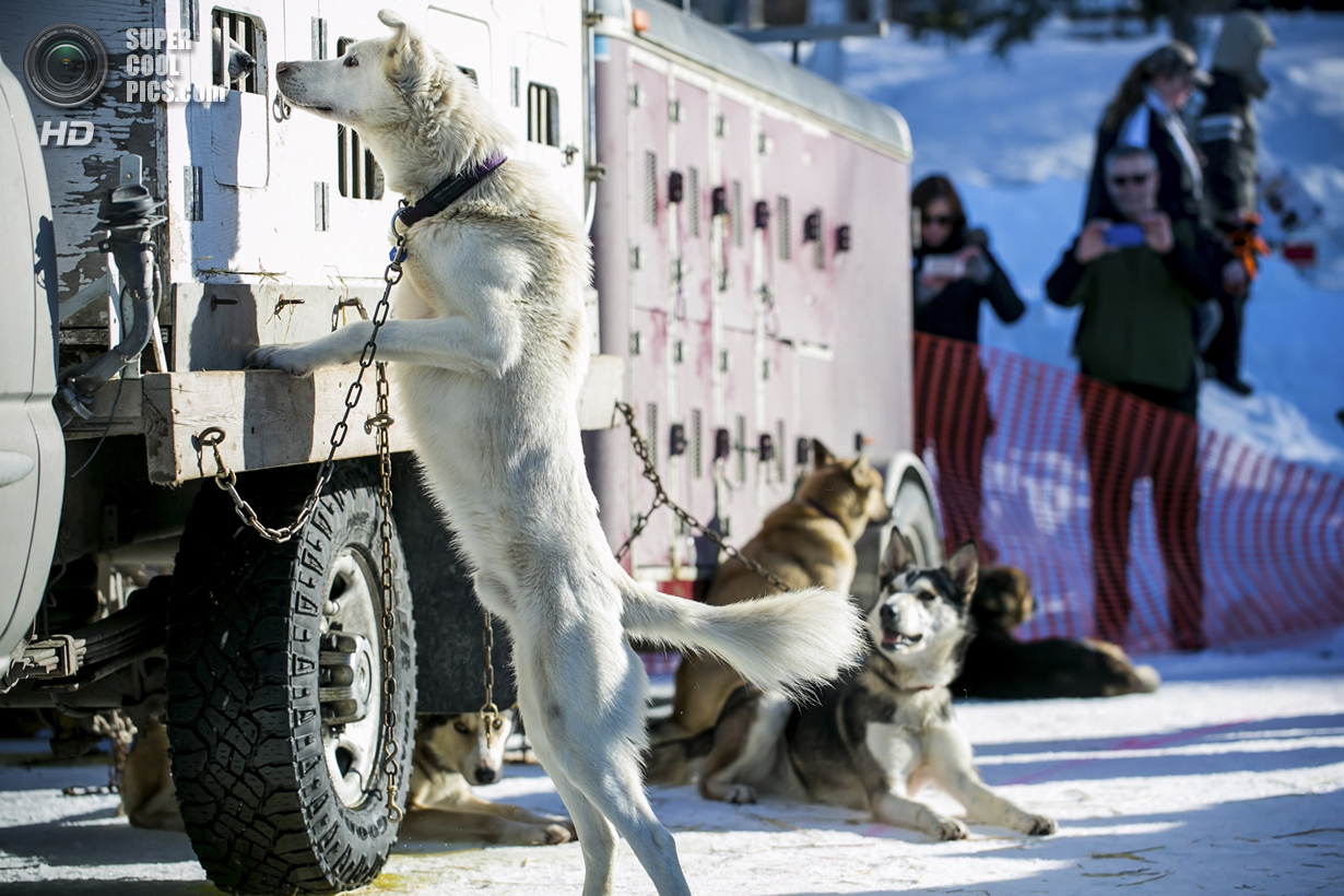 США. Уиллоу, Аляска. 2 марта. Собаки в ожидании рестарта. (REUTERS/Nathaniel Wilder)