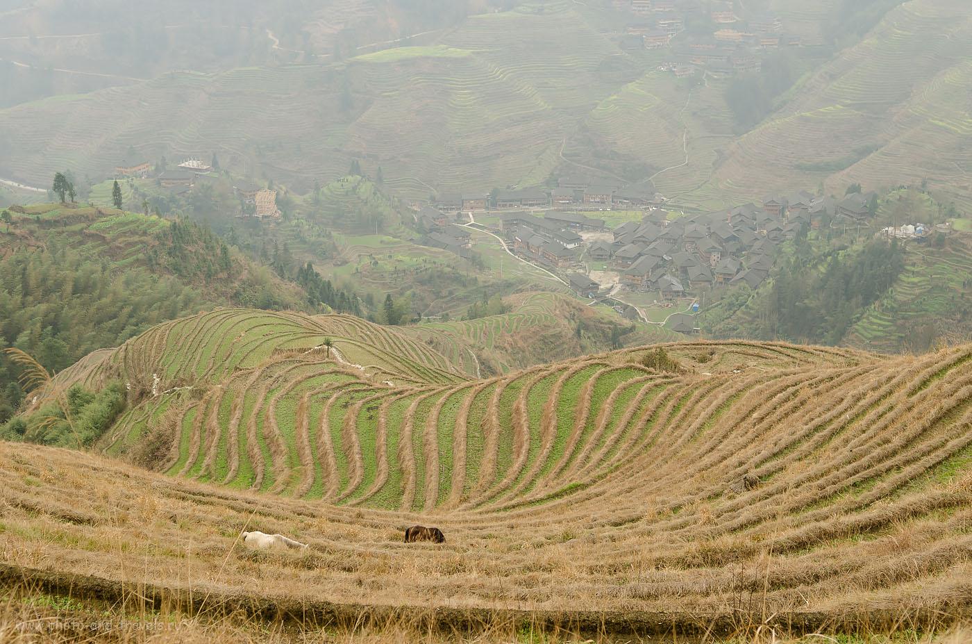 Фото 10. Рисовые террасы Longsheng Rice Terraces в Китае. Пасутся там не только коровы, но и кони