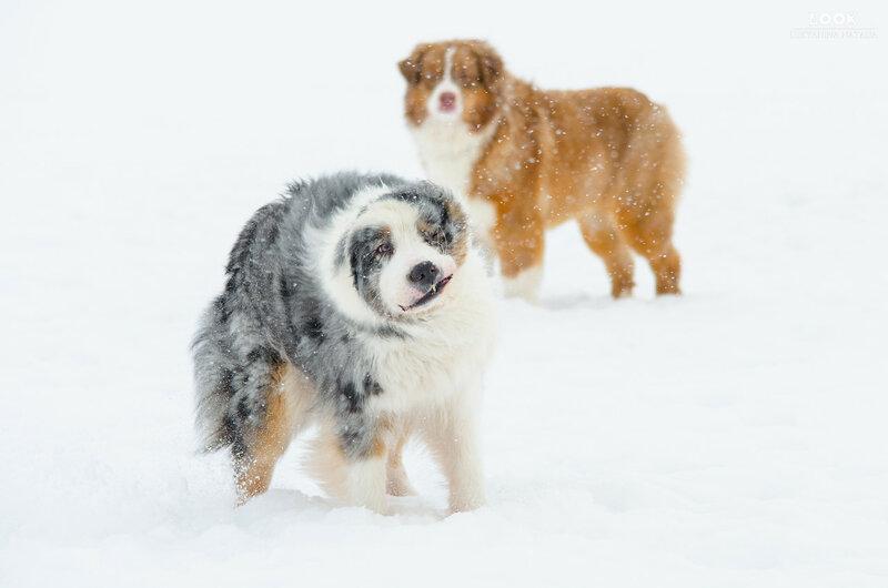 Мои собаки: Зена и Шива и их друзья весты - Страница 6 0_a76d9_7efda8cd_XL