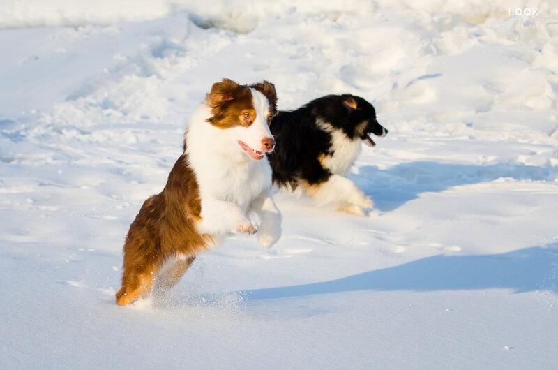 Мои собаки: Зена и Шива и их друзья весты - Страница 9 0_a8529_55877e20_XL