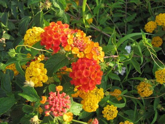 цветы лантаны
