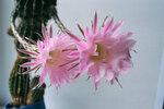 Прекрасные цветы кактуса