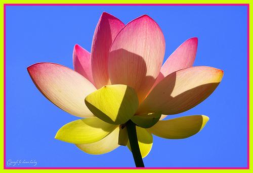 лотосы и водяные лилии фото