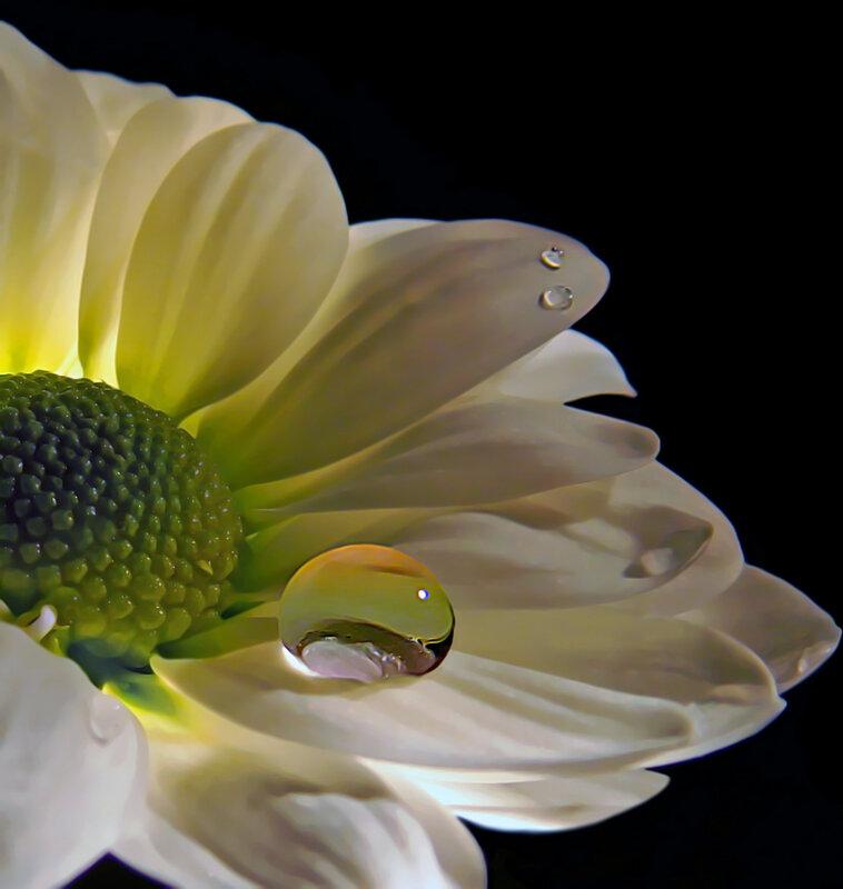 цветок ромашки с каплей росы.
