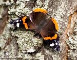 БАБОЧКИ (Lepidoptera)