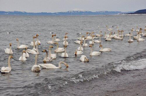 Лебеди прилетели!!!