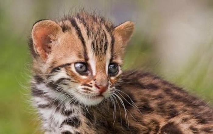 Эшли Винсент: Детеныши львов и леопардов