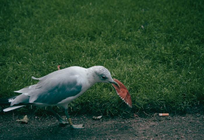 чайка ест мусор в парке