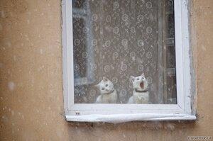 Две белые кошки (кот, окно, пара, снег)