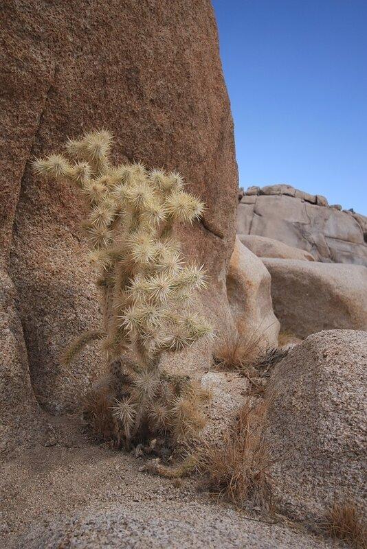 Колючки пустыни Мохаве