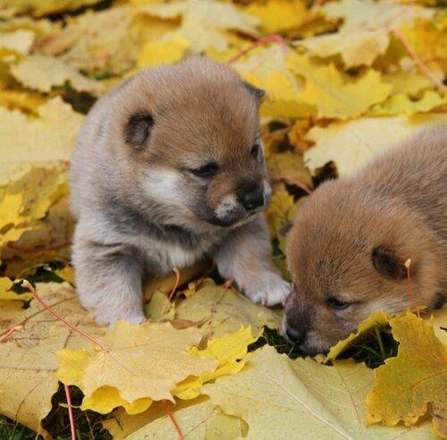 http://img-fotki.yandex.ru/get/5500/shiba-inu.f/0_42979_b14b7de0_L.jpg