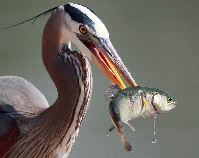 Большая голубая цапля с рыбой