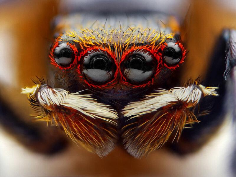 Прыгающие пауки: 5