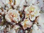 Гаппасов Рамиль. Белые розы