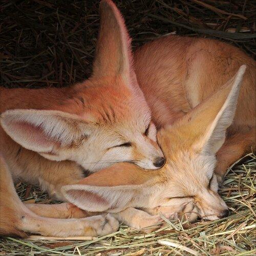 Ушастые лисички (фенек)