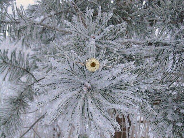 Засушенная  маргаритка в стекле с серебром
