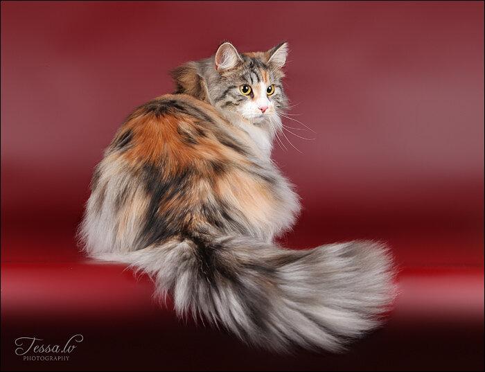 порода сибирская кошка длинношерстная