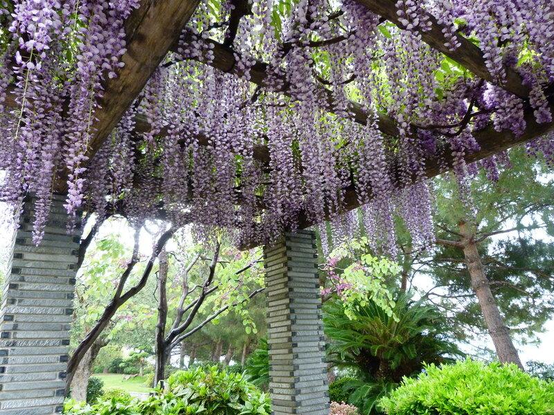 Японский сад. Цветет глициния. Монако