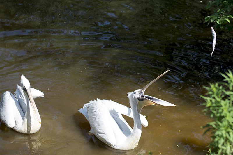 обед пеликанов 4