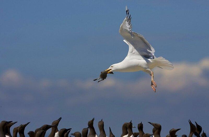 Серебристая чайка с птенцом кайры в клюве