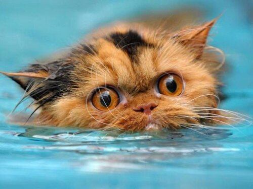 кошки умеют плавать