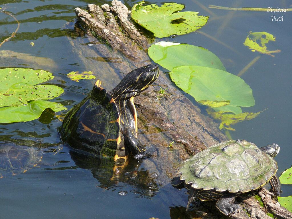 Из жизни черепах