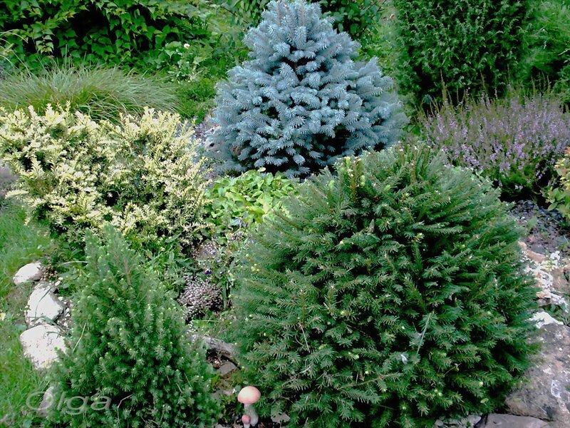 тисс ягодный 'Elegantissima', ель колючая 'Glauca Globosa', Picea glauca Conica