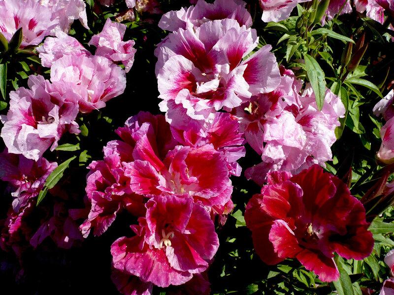 Цветок годеция фото 3