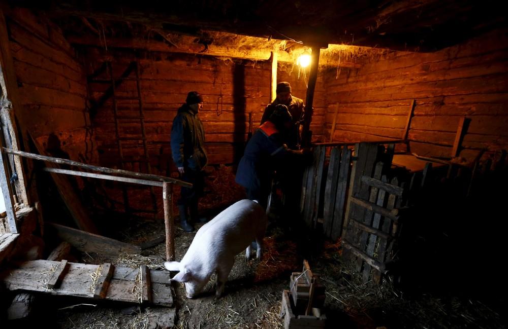 Сельские будни: как режут свиней в деревнях