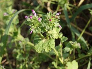 s:травянистые,c:красные,c:розовые,l:супротивные,s:розеточные,околоцветник зигоморфный,лепестков 5,околоцветник сростнолепестный,b:четырехгранный