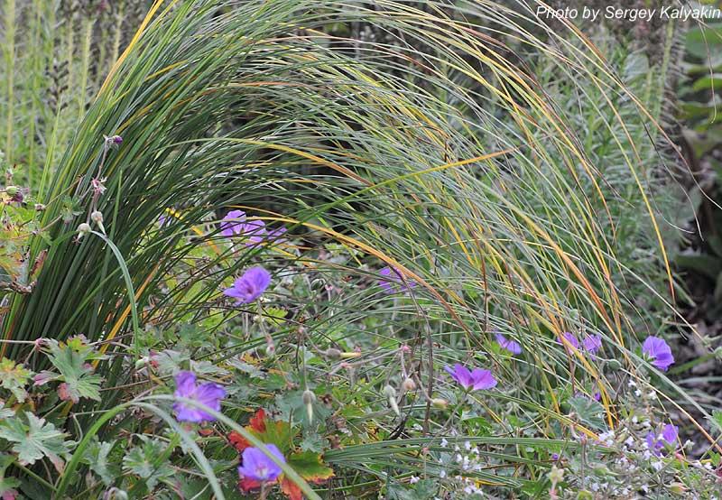 Carex acuta (5).JPG