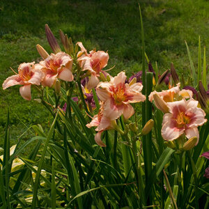 Лилейники в Саду Дракона летом 2011г 0_63782_78ea3fba_M