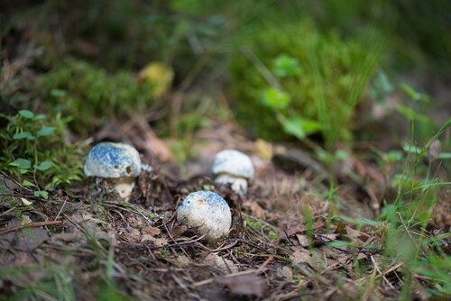 Гиропорус синеющий (Gyroporus cyanescens) Автор фото: Владимир Брюхов