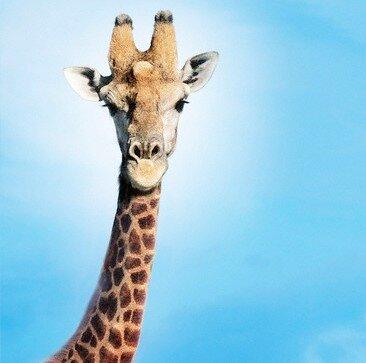 прикольные картинки жирафа:
