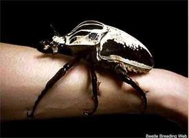жук-голиаф, самые большие насекомые