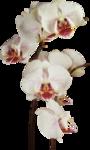 Орхидеи 33
