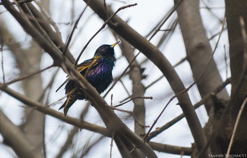 Скворец, Sturnus vulgaris, starling, фото, photo