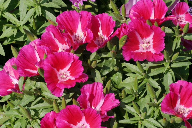 Цветок годеция фото 4