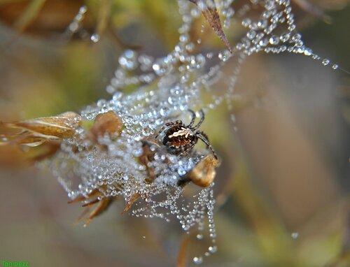 Акулепейра церопегия (паук дубовый) / Aculepeira ceropegia