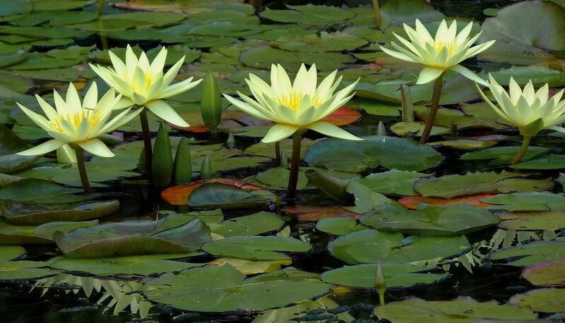 Картинки с пруда Цветы Новой Зеландии