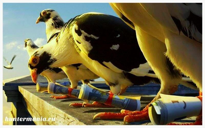 Почтовые голуби в старину и в наши дни
