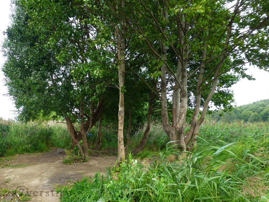 ленточки на деревьях - языческий ритуал у синего камня