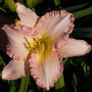 Лилейники в Саду Дракона летом 2011г 0_6373e_34fc748c_M