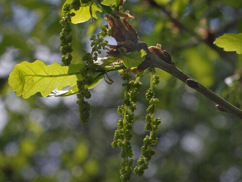 Дуб черешчатый (Quercus robur) Автор: Юрий Семенов