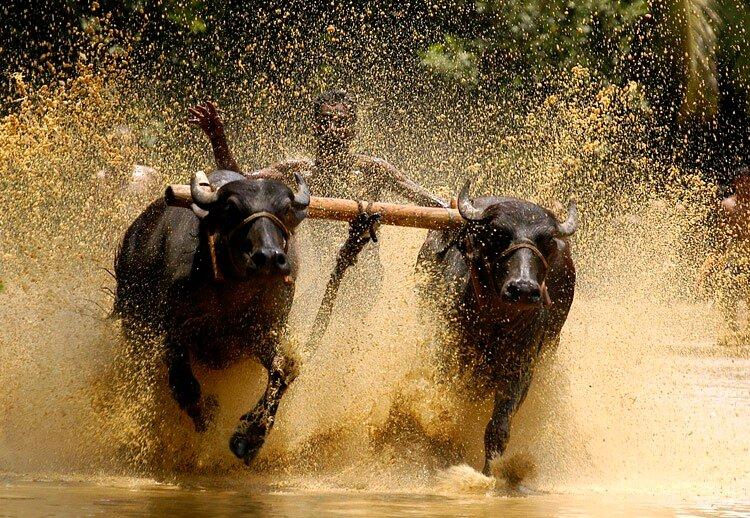 скачки на быках